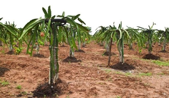 Growing Dragonfruit. Traditional trellising.  Site has good information on soil, water, etc. for dragonfruit.