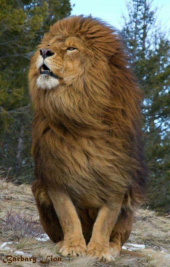 wouaah !! sa c'est le roi de la jungle...
