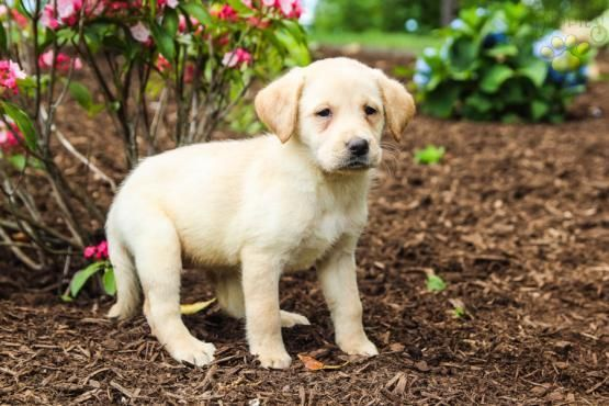 Trixie Labrador Retriever Puppy For Sale In Ickesburg Pa