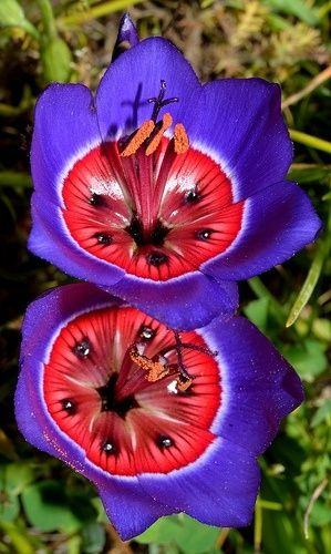 Geissorhiza radians, the inside looks like a watermelon: