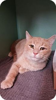 Philadelphia, PA - Domestic Shorthair. Meet Simba, a cat for adoption. http://www.adoptapet.com/pet/14308557-philadelphia-pennsylvania-cat