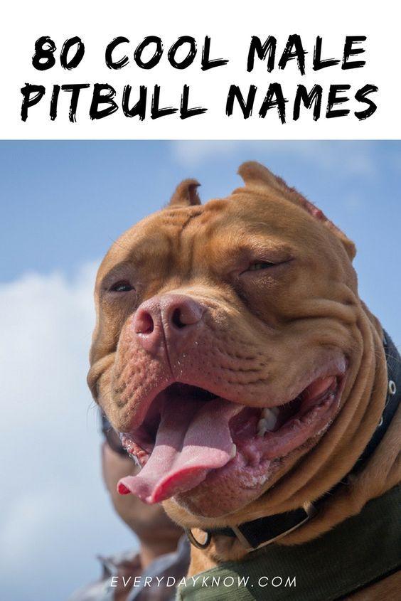 80 Cool Male Pitbull Names Male Pitbull Names