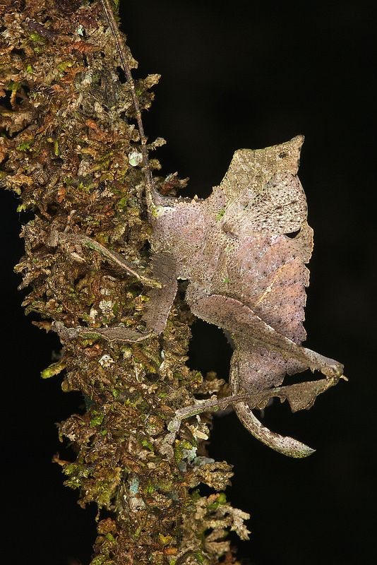 Typophyllum bolivari