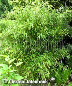 Bambus, Gartenbambus (Fargesia murielae)