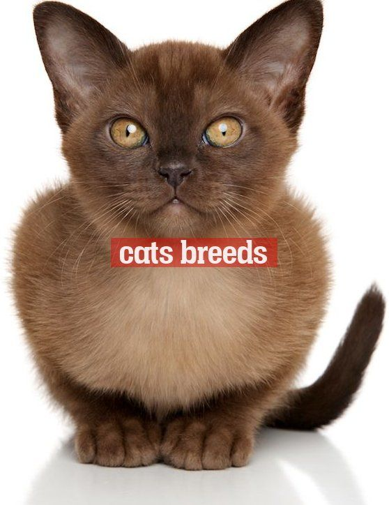 Things To Know About Burmese Cats Catsbreeds Wissenswertes Uber Birmanische Katzen Things To Know About Burmese Cats In 2020 Cat Breeds Burmese Cat Cats