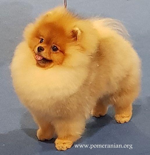Pomeranian Dog Pomeranian Pomeranians Orangepomeranians