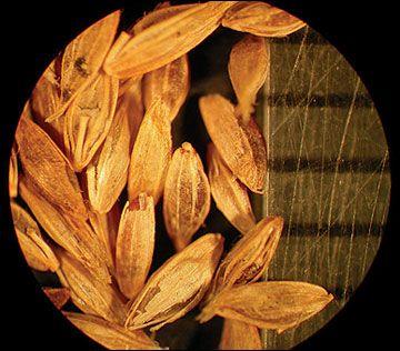 Bluegrass, annual seeds