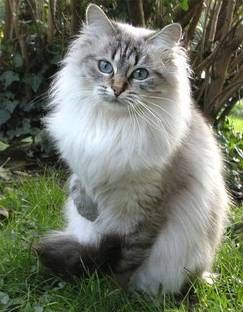 Siberian Cat ChiChi Suarez