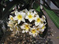 Blüten von Plumeria rubra