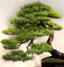 free shipping Pine seeds, radiation, air purification, landscape plants, 5 pcs(China (Mainland))