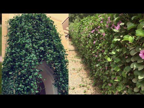 أسرع نبات متسلق ومزهر طول السنة ومغطيات الجدار نباتات متسلقة سريعة النمو الأيبوميا Ipomea Youtube Plants Creative