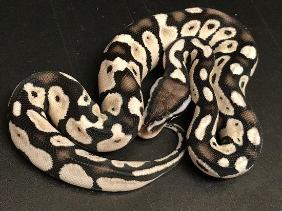 Pin Auf Schlangen