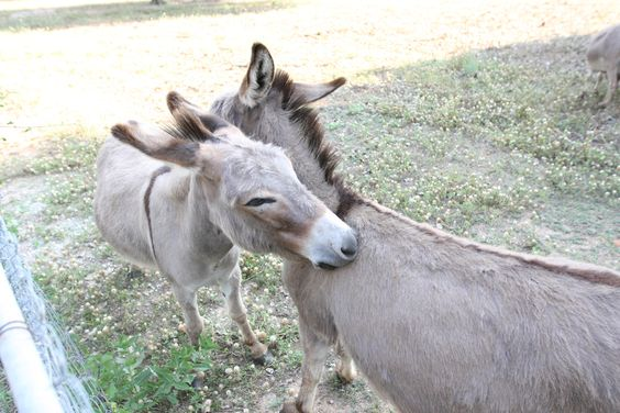 Our miniature Christian donkeys always stay together. You will see them wandering around the pastures on our beautiful ranch! www.mdresort.com