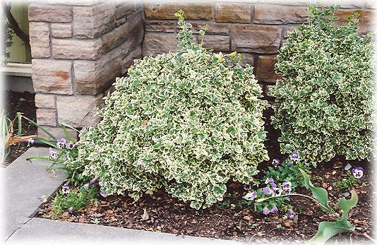 EUONYMUS fortunei 'Emerald Gaiety'.haut 25 cm persistant