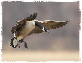 carry-lite one-piece canada goose shell decoys 6