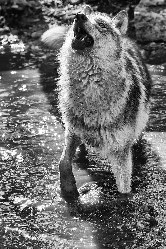timber wolf in pond