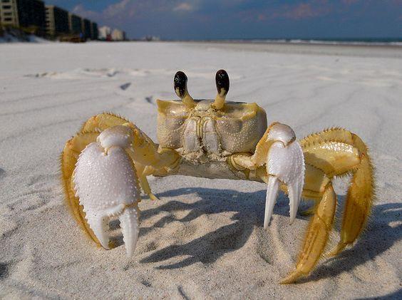 Señor cangrejo (crab)