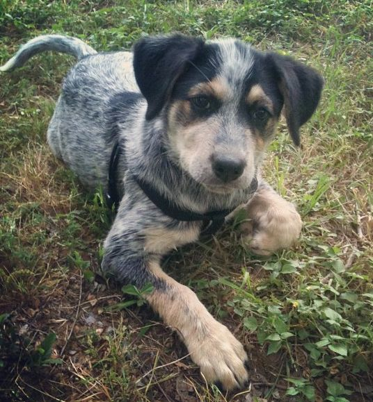 Blue heeler / beagle mix | Canine | Pinterest | Bluetick Coonhound ...