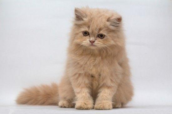 Doll Face Persian The Uk S Top 10 Most Popular Cat Breeds Pets4homes Fluffycatsbreeds Persian Cat Doll Face Popular Cat Breeds Most Popular Cat Breeds