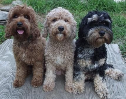 cockapoo pic. The one on the far right looks like Caesar