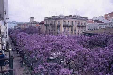 Oa jacarandás de Lisboa - Av. D. Carlos I - Lisboa: