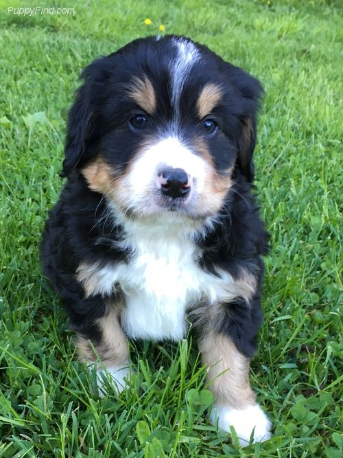 1 595 8 Wks Male Bernedoodle Pictures Qcc785z26y1 Puppies Bernedoodle Puppies For Sale