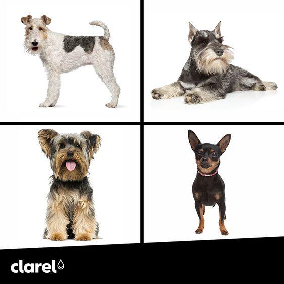 Gostava de ter um animal de estimação, mas tem receio porque está num apartamento? Existem raças que se adaptam perfeitamente a um ambiente mais pequeno: Yorkshire Terrier, Fox Terrier, Schnauzer Miniatura ou Pinsche Miniatura.