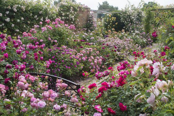 david austin gardens images | David Austin (UK) Long Garden