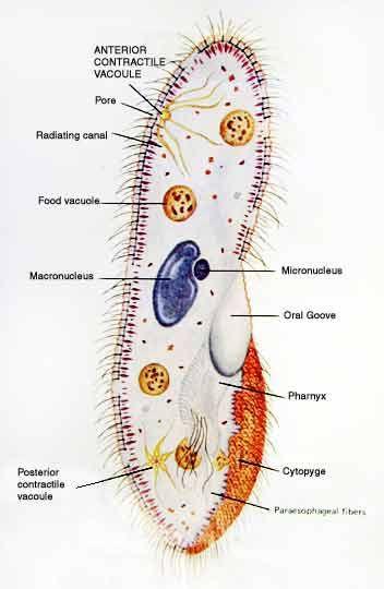 Paramecium Paramecium Jpg Science Classroom Protists Biology