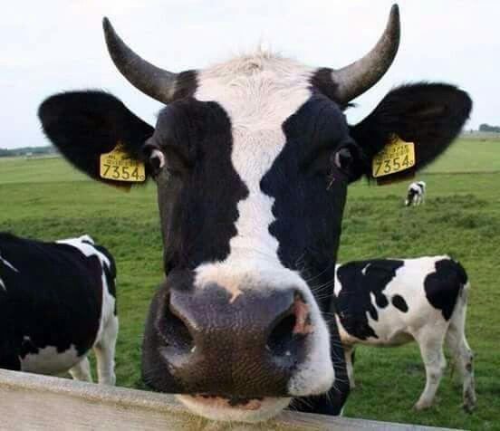 Kijk nou een koe met twee gezichten