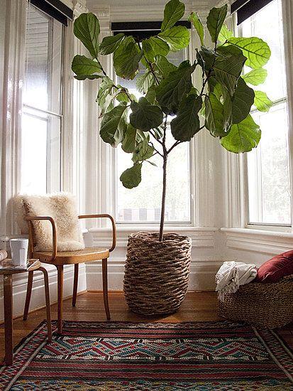Fiddle leaf fig tree, nice in that basket