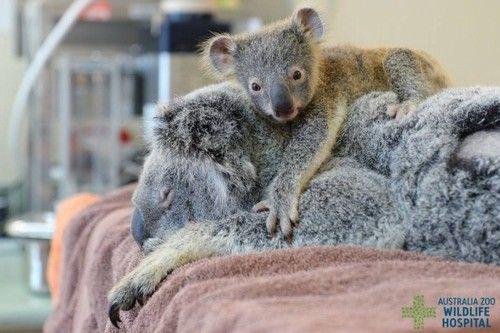Filhote de coala não se desgruda da mãe durante cirurgia - Fernando Moreira: O Globo