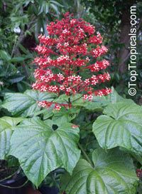 """Clerodendrum paniculatum, Pagoda Flower, Orange Tower Flower, Clerodendron. Erect, open, semi-woody shrub with huge evergreen leaves (to 12"""") and huge showy clusters of orange-red, scarlet, or white flowers held above foliage. Sometimes multiple stems and geets 3-5 ft tall and 2-3 ft across. Fast growing in rich, slightly moisture retentive soil. Zone 8-11. Perennial dying to ground in winter."""