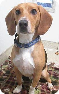 Eugene, OR - Beagle Mix. Meet Shilo Key, a dog for adoption. http://www.adoptapet.com/pet/12338881-eugene-oregon-beagle-mix