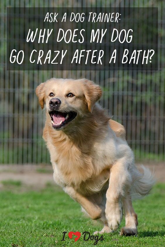 Ask A Dog Trainer Why Does My Dog Go Crazy After A Bath Dogs