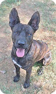 Hagerstown, MD - Great Dane/Shepherd (Unknown Type) Mix. Meet King Kahn B Wilbur, a dog for adoption. http://www.adoptapet.com/pet/13778884-hagerstown-maryland-great-dane-mix