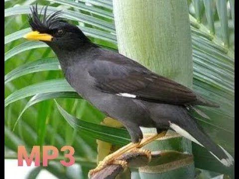 Suara Burung Jalak Kebo Hitam Youtube In 2021 Bird Sound Animals