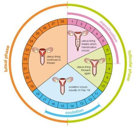 月经周期,计算,排卵期,日数,迟来