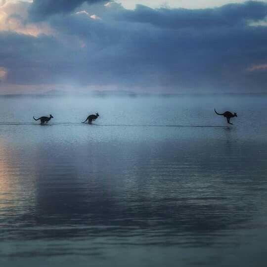 Canguros sobre el agua