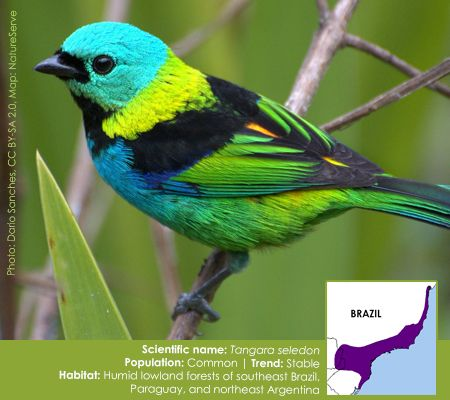 Bird of the Week: Green-headed Tanager
