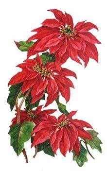 http://www.christmasgifts.com/clipart/pointsettiabouquet.jpg: