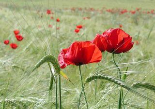 poppies photo:  zzahadh.png