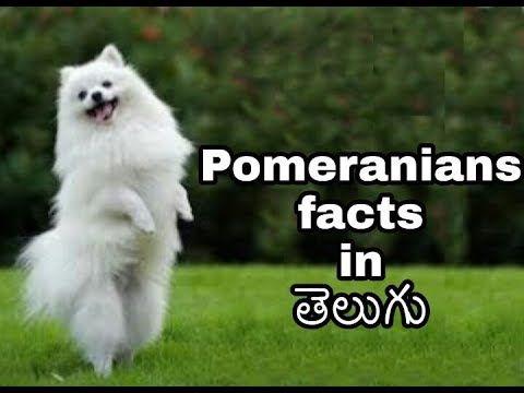 Watch Or Download Pomeranian Dog Facts In Telugu Taju Logics With Videoder Pomeranian Dog Dog Facts Pomeranian
