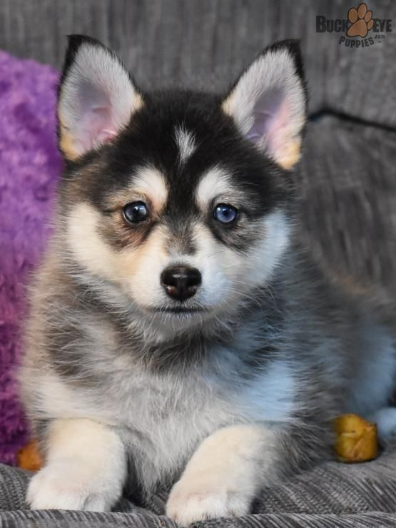 Pin By Buckeye Puppies On Animals Pomsky Puppies Puppies Pomsky