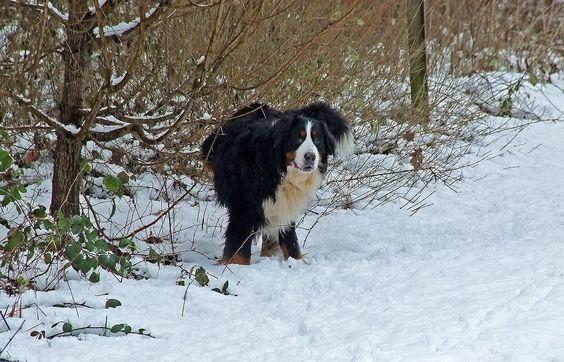 Noch hält das Bernhardinerwetter an. ... Und es ist auch gut kalt geworden. Aber Vorsicht im Wald - Astbruchgefahr !! Für Menschen und andere Hunde. Auch Appenzeller-Sennen- Hunde. :-)