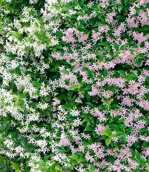 Duft Jasmin Pink Weiss 1a Qualitat Kaufen Baldur Garten Kletterpflanzenwinterhart Duft Jasmin Pink Weiss Trachelospermum Jasminoides Garden Shrubs Plants