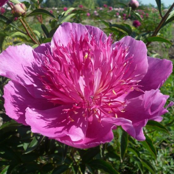 Peony 'Madame Butterfly'