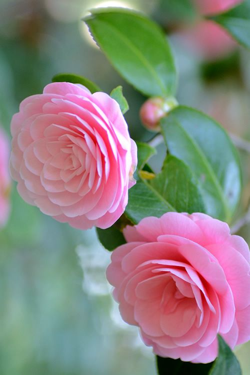 Buy Otome Pink Camellia Free Shipping For Sale Online From Wilson Bros Gardens Pink Garden Flowers Camellia Flower