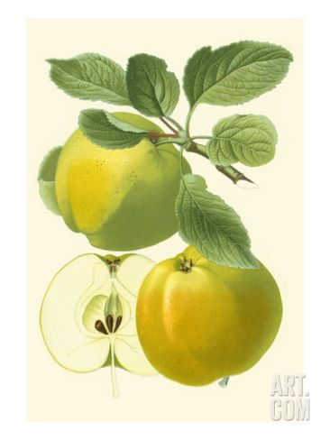 Antique Green Apple Premium Giclee Print by Vision Studio at Art.com