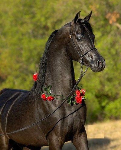 Cheval pur sang arabe 047